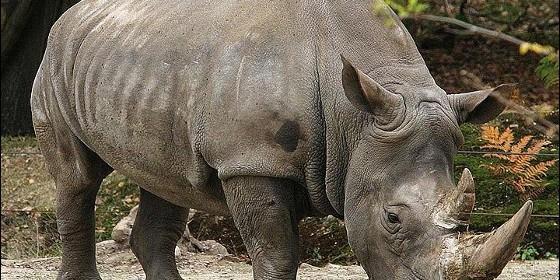 20090920234012-rinoceronte-cuerno-560x280.jpg