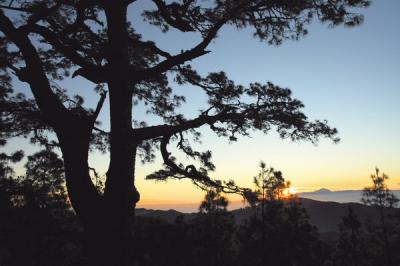 El lento ocaso de un pinar centenario
