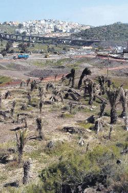 El parque de Tamaraceite seca decenas de palmeras