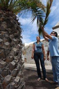 Medio Ambiente ha enviado a analizar muestras de las palmeras enfermas y editará un folleto informat