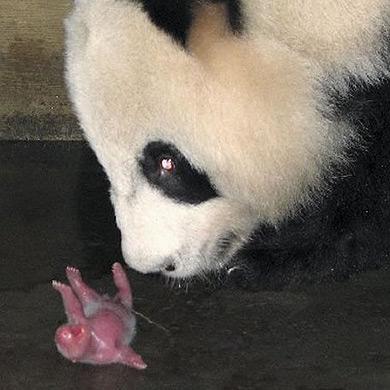 Nace el primer panda en Europa, en 25 años