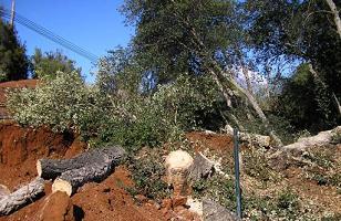 Cabildo grancanario arranca 50 alcornoques en Teror para construir una rotonda