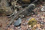 Encuentran en La Palma una especie de lagarto gigante que se creía extinguida