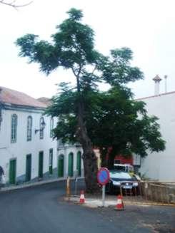 Denuncian la tala de árboles emblemáticos que se viene desarrollando en Valleseco y Teror