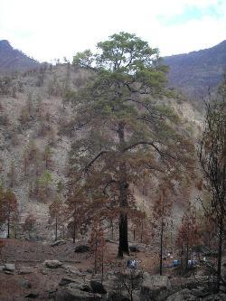Cae el pino de Pilancones