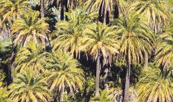 El 4% de Tamarán es palmera