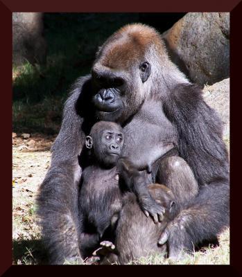 Uganda, Ruanda y Congo se unen para proteger a los gorilas
