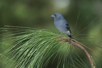 Presentado el 'Atlas de las aves nidificantes de Canarias'