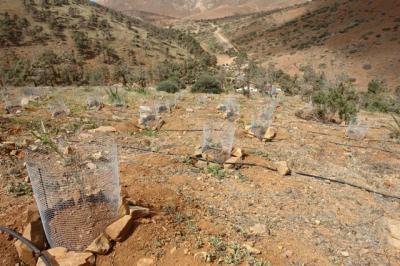 En Fuerteventura Se Culmina La Primera Fase De La Mayor Reforestación Arbórea En La Historia De La Isla Desde El Pinar  de Betancuria