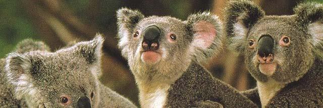 El cambio climático amenaza de muerte a los koalas australianos