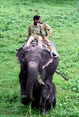 Las autoridades habilitarán corredores para elefantes en el sur de la India