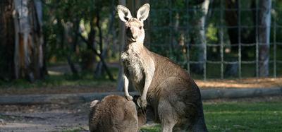 Australia sacrificará a los canguros que defiende Paul McCartney