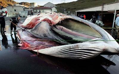 Islandia condena a muerte a 40 ballenas