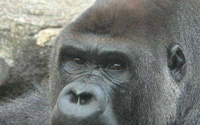 La ONU declara 2009 como año del gorila