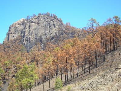 El Cabildo de Gran Canaria emprende la reforestación de las zonas quemadas con 200.000 pinos