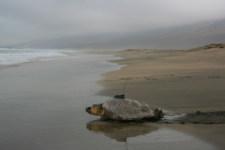 Medio Ambiente suelta en Cofete una tortuga 'Boba' equipada con un GPS