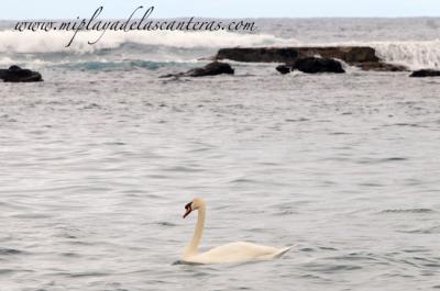 Un cisne surfero en la playa de Las Canteras.
