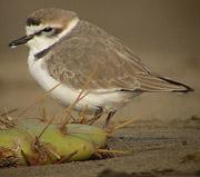 SEO/BirdLife y la Caja de Canarias inician una campaña de conservación de las aves de los humedales costeros de Gran Canaria