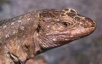 El lagarto canario moteado, entre los seis reptiles más amenazados de Europa