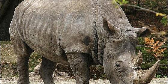 El rinoceronte se ha extinguido en el Congo