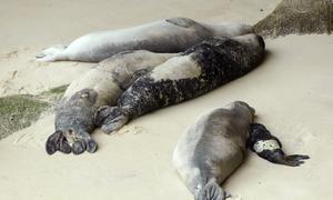Nace una foca monje en la playa por primera vez desde el siglo XV