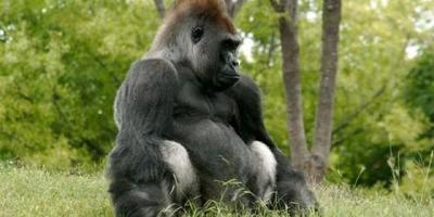 """Los gorilas no son """"artículos de lujo"""" sino animales """"esenciales para el medio ambiente"""""""