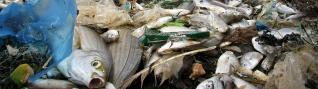 Mueren miles de peces en Órzola por exceso de seba