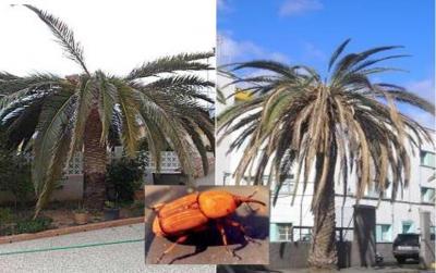 El Gobierno canario sostiene que ningún palmeral natural de las islas se encuentra afectado por la plaga del picudo rojo