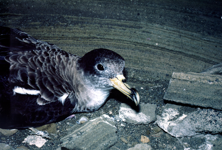 El Gobierno financiará dos proyectos de investigación sobre aves en Islas Atlánticas