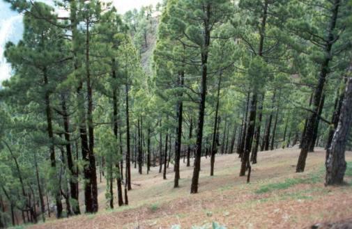 Los pinos de Canarias rebrotan y se olvidan de los incendios de 2007