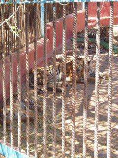 Ben Magec-Ecologistas en Acción ya denunció en 2005 la posibilidad de fuga de los tigres junto con otras graves deficiencias