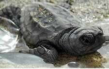 El 'Campamento tortuga' se prepara para recibir entre 800 y 1.000 huevos de tortuga boba