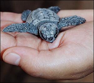 La arena de Cofete (Fuerteventura) cuenta con 700 nuevos huevos de Tortuga Caretta ubicados en 4 nidos
