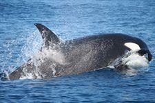 M.La EBD y Circe estudiarán las rutas migratorias de grandes cetáceos del Mediterráneo