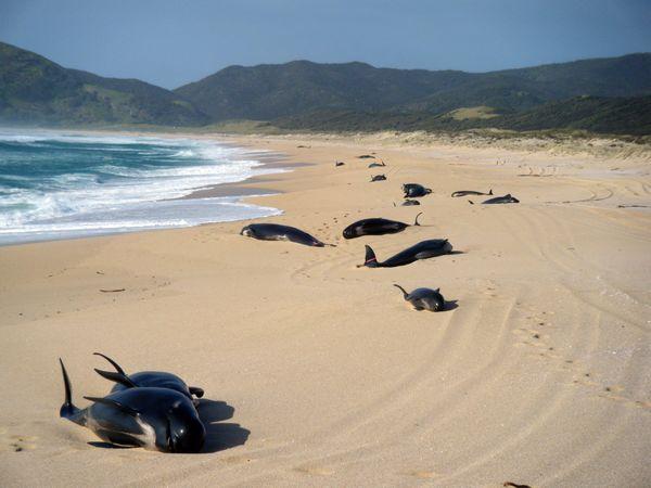 Mueren gran parte de las ballenas que quedaron varadas en Nueva Zelanda