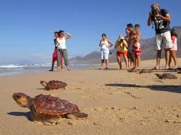 Las aguas de Cofete dan la bienvenida a 17 nuevas tortugas bobas