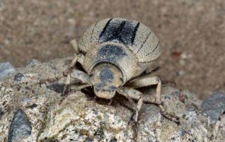 El escarabajo protegido ´dificulta´ el desarrollo del Sur