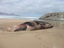 Las poblaciones de cachalote y sus amenazas en aguas canarias centrarán un estudio de WWF España, SECAC y Caja Madrid