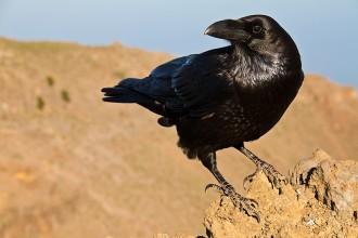 El cuervo canario está al borde la extinción debido al veneno en el campo