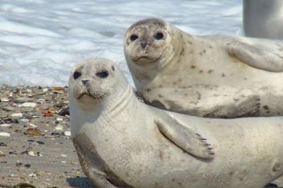 La contaminación costera europea perjudica a las focas