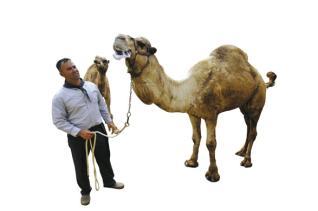 España registra el camello canario en Europa