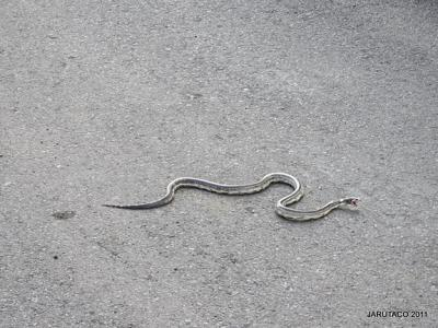 Exclusiva: Encontrada una serpiente real de California en Nido Cuervo