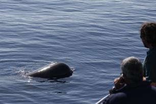 WWF, la SECAC y Obra Social Caja Madrid localizan a una familia de 12 cachalotes en Lanzarote