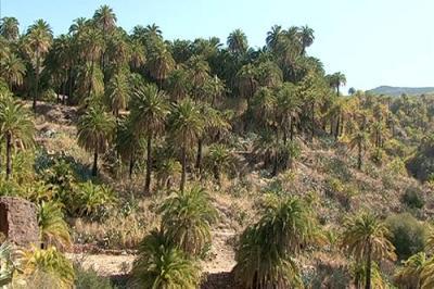 El PSC-PSOE en el Cabildo Gran Canaria exige la protección de los ejemplares de palmera canaria de la isla